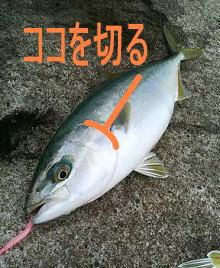 イナダ・アオリイカを締める(〆...