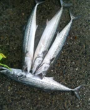 新潟県東港にてルアーで釣れたサワラ(サゴシ)