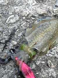 佐渡にてエギングで釣れたアオリイカの画像